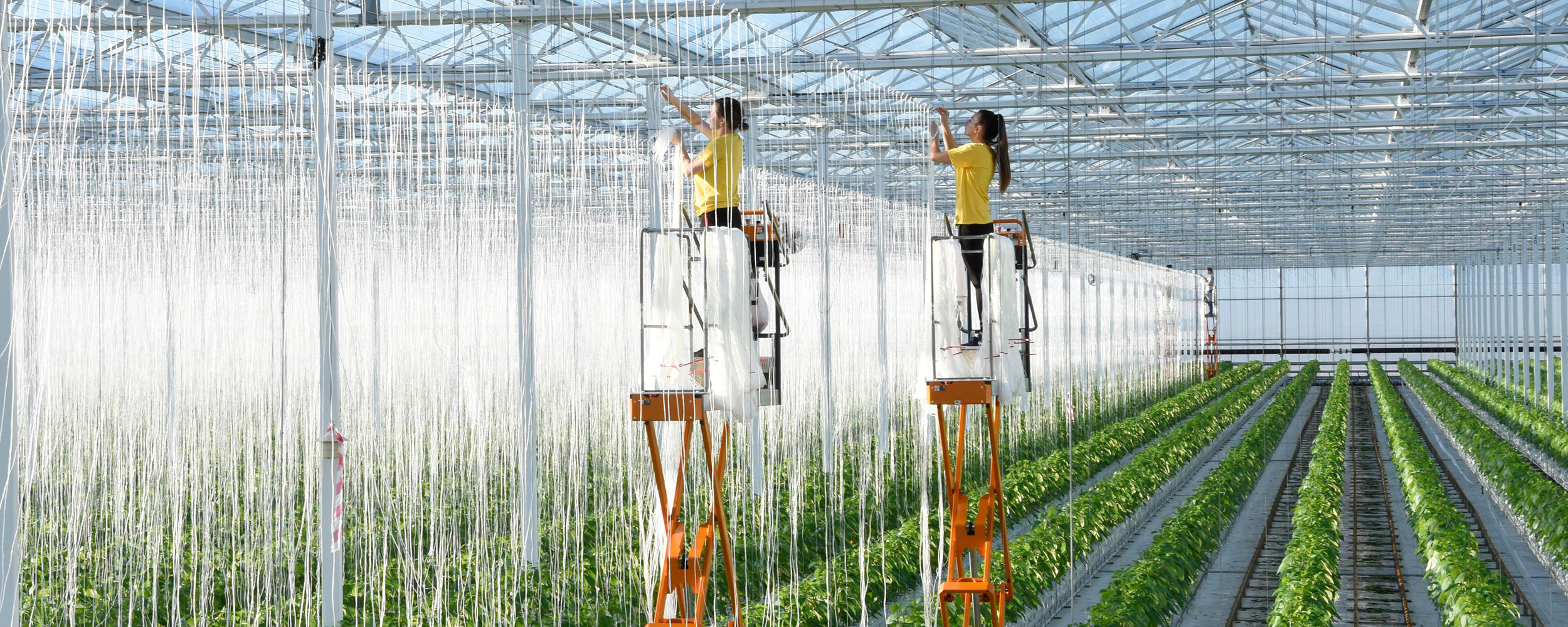Two female employees hanging compostable strings for pepper plants to grow up at Tangmere Airfield Nursries.
