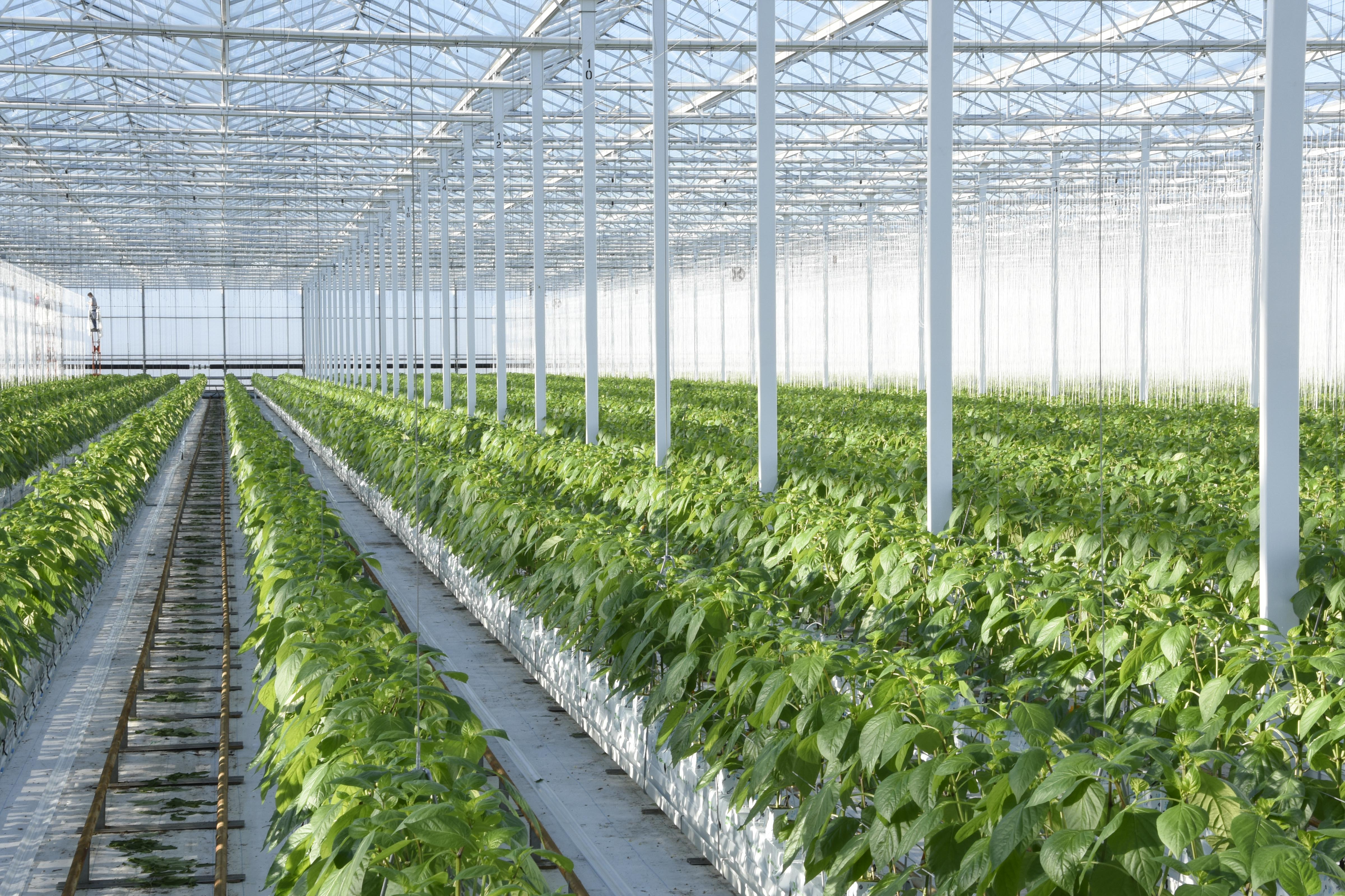 Sweet bell pepper production process by Tangmere Airfield Nurseries
