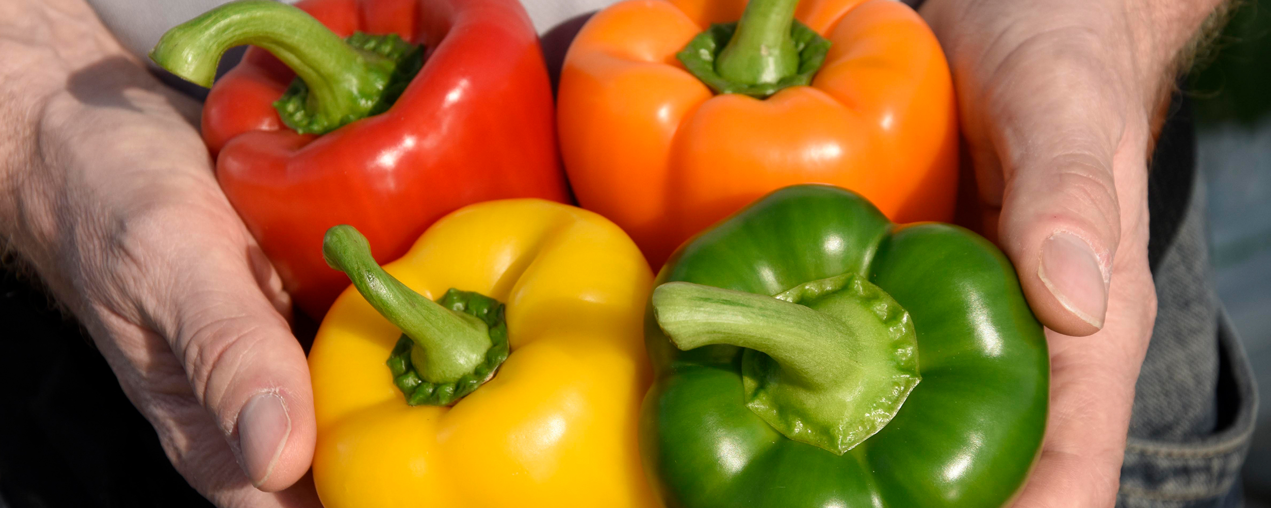 Red, yellow, green and orange peppers being held in two hands.