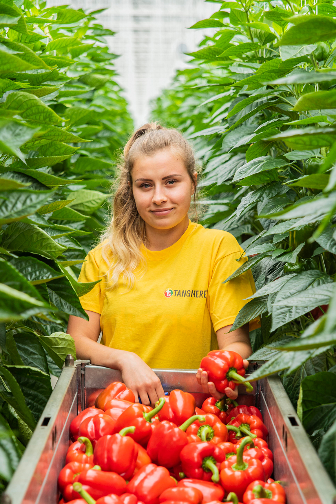 A female employee wearing a yellow tshirt with a full picking bin or red bell peppers.