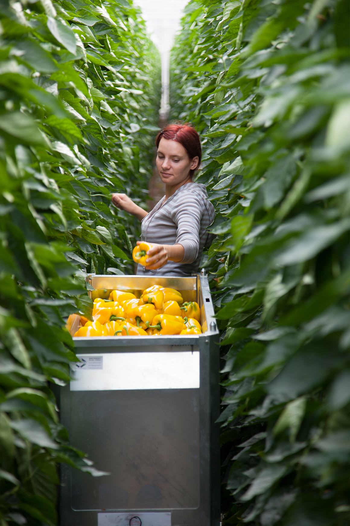 A female employee handpicking yellow peppers in a row of tall green pepper plants.