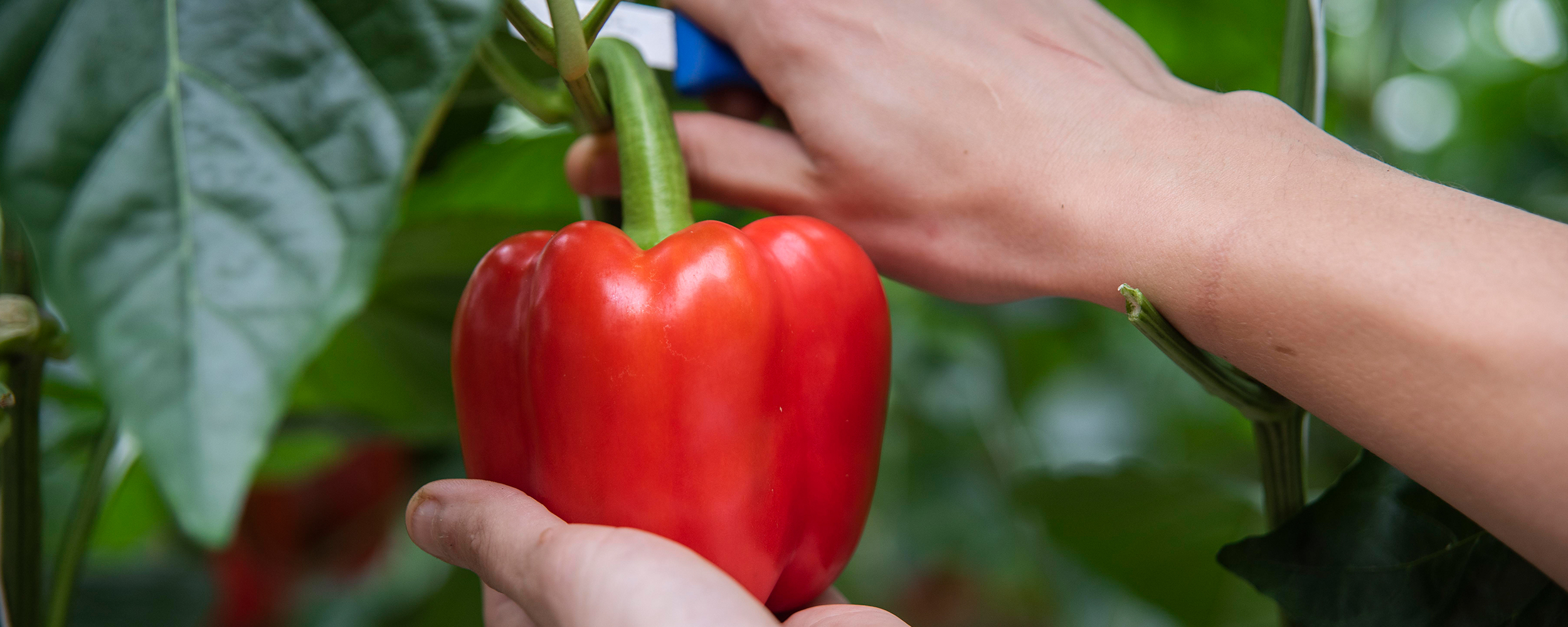 A close up of handpicking a red pepper.