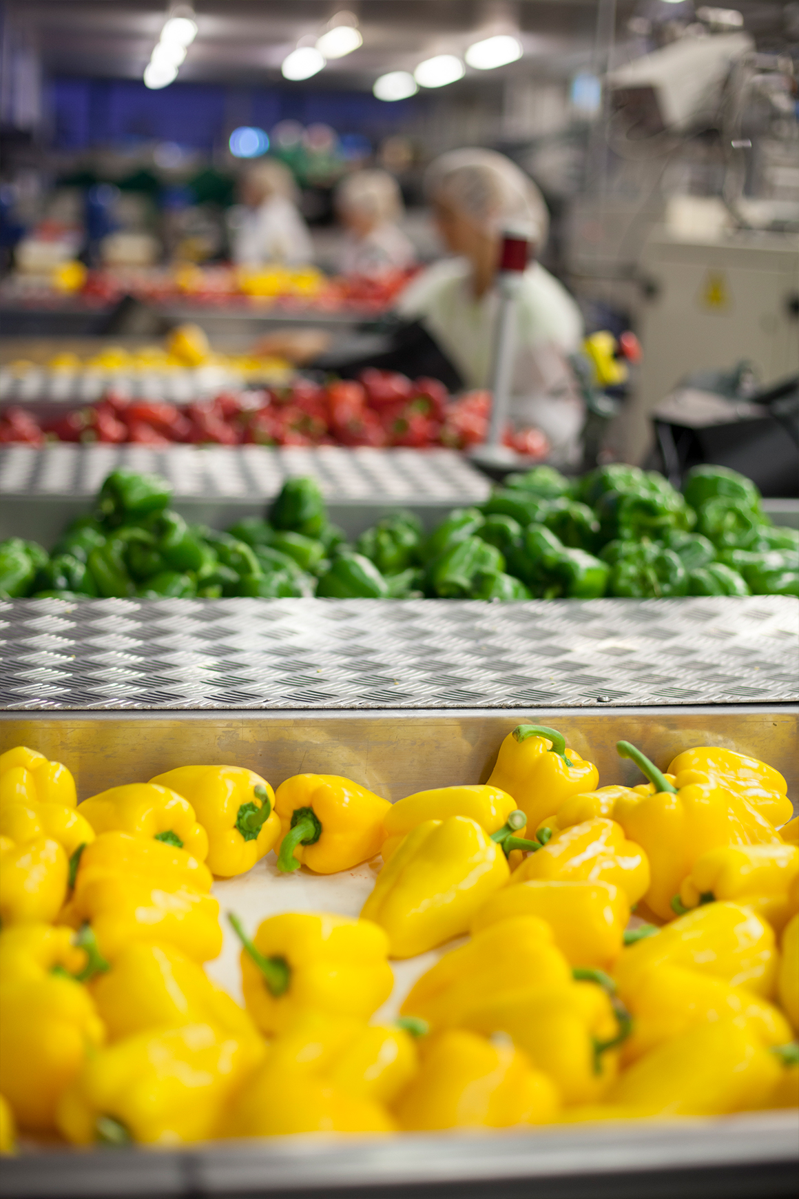 Yellow, green and red sweet peppers being packed at Tangmere Airfield Nursery.