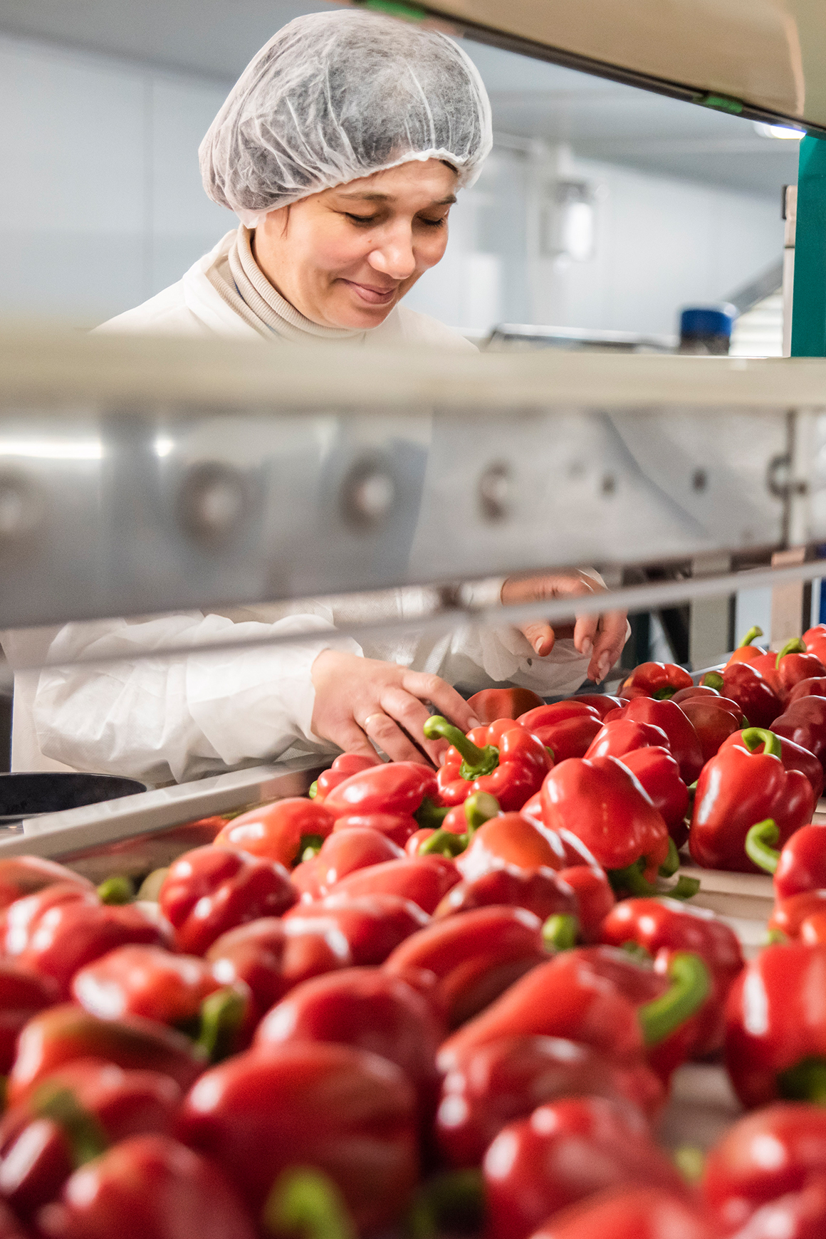 A female employee selecting and sorting red sweet peppers by hand at Tangmere Airfield Nursery.