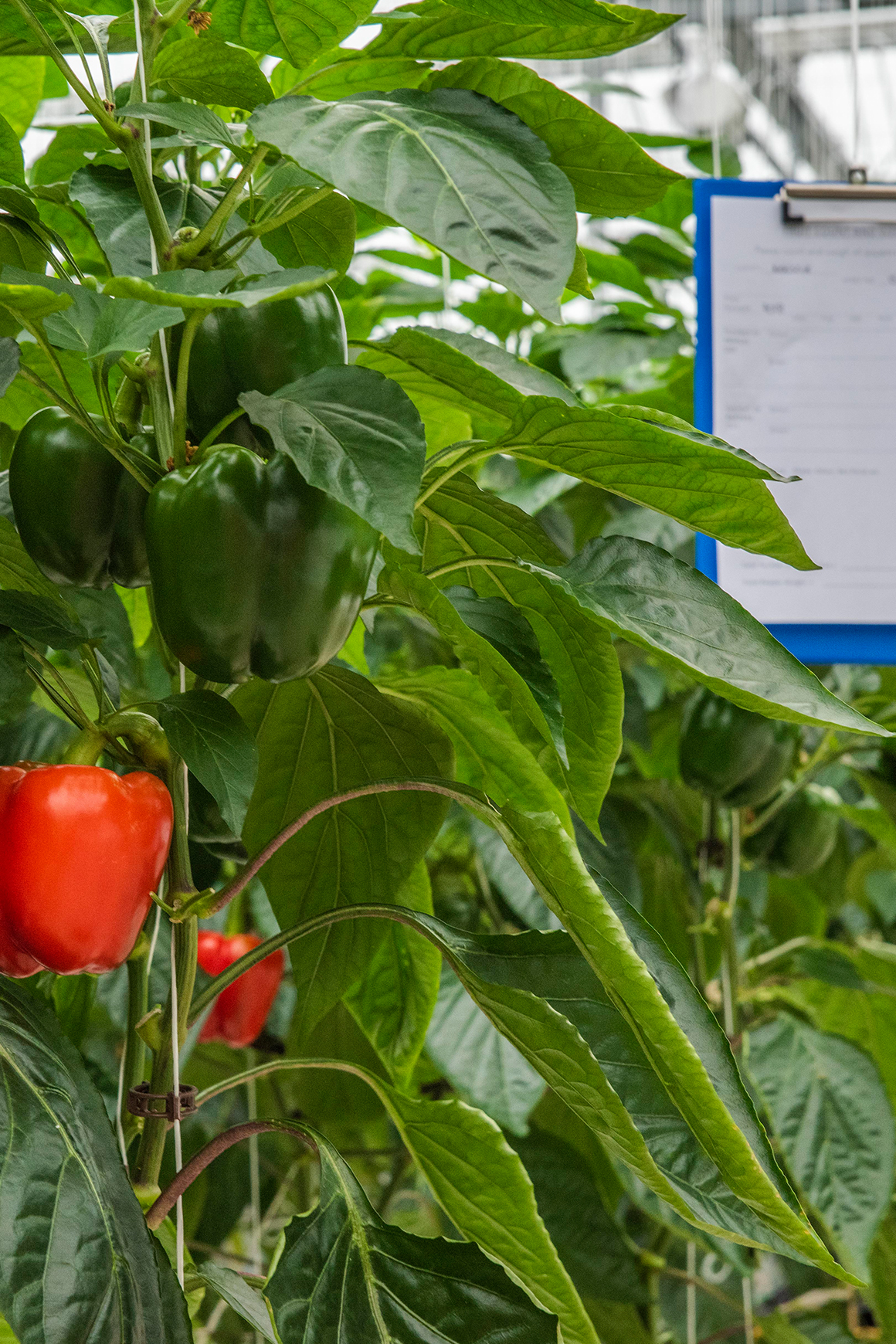 An example of new pepper trials in Tangmere Airfield Nurseries' unique research facility.